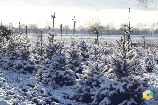 kerstbomen in de sneeuw