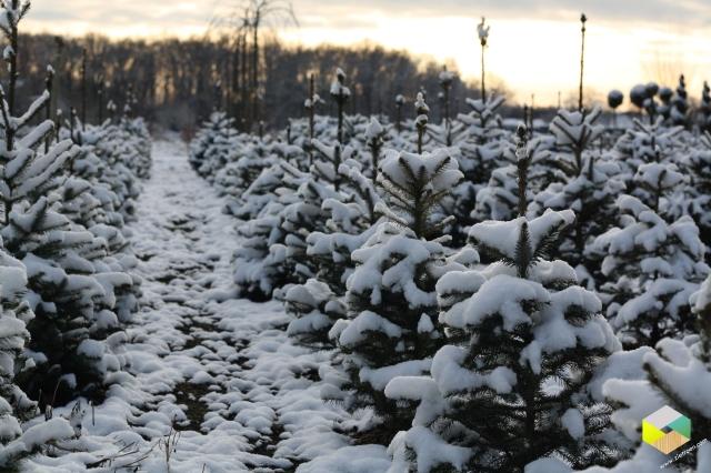 kerstboompjes in de sneeuw