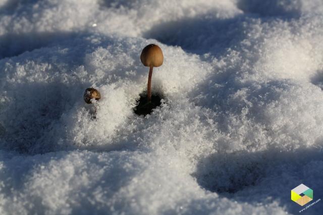 paddestoel in de sneeuw