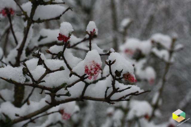 Viburnum in de sneeuw