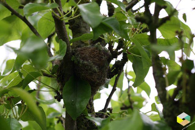 klein nestje in pruimenboom