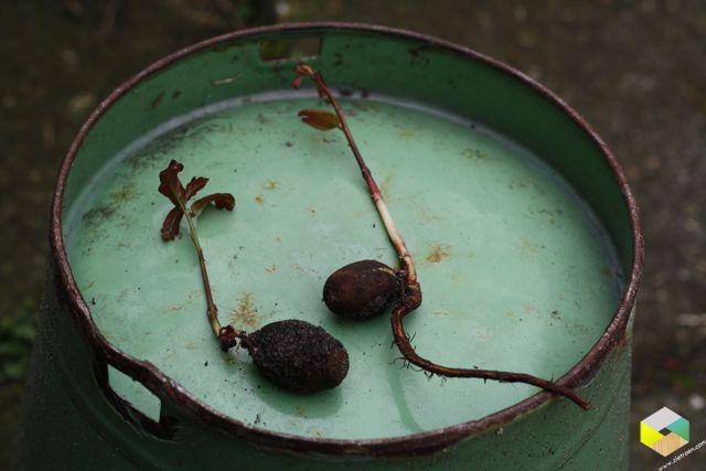 kleine eikenboompjes