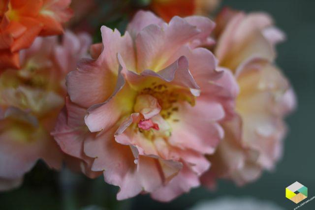 Jolijns rozen