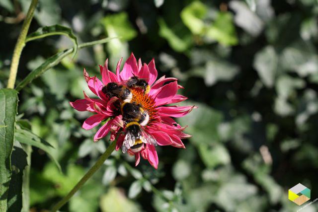 echinacea 4 bijen