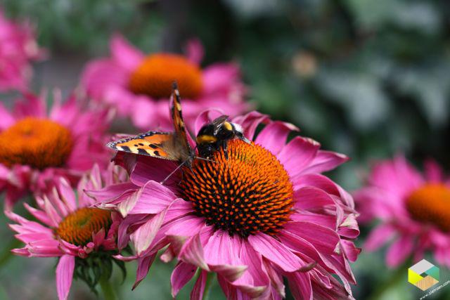 echinacea vlinder bij